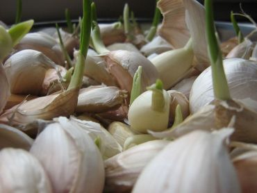 How to Plant Garlic: A Basic Growing Guide
