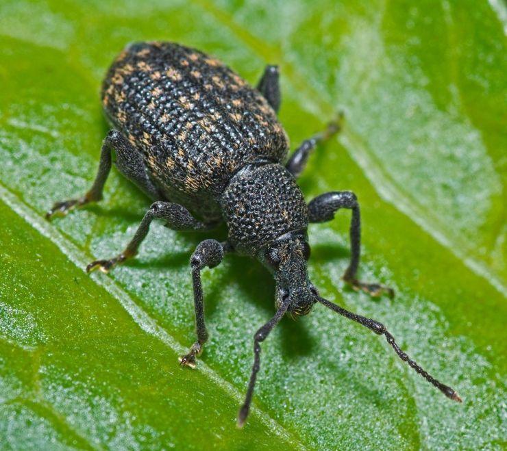 12 Natural Ways to Get Rid of Black Vine Weevil in Garden