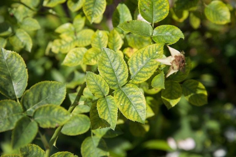 deficiency of Manganese in plants