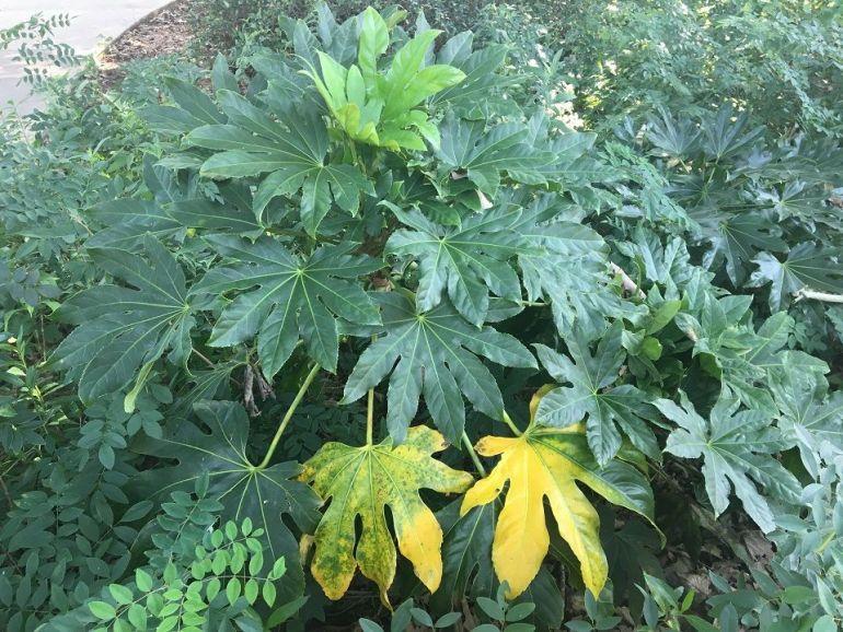 Nitrogen deficiency in plants