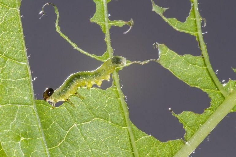 Sawfly Larvae - 13 Natural Ways to Get Rid of Sawflies