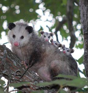 Opossum Facts and Garden Benefits