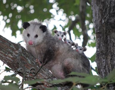 Opossum Facts and Garden Benefits