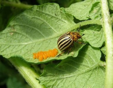 11 Natural Ways to Get Rid of Colorado Potato Beetle (Potato Bug)