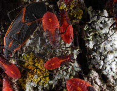 15 Natural Ways to Get Rid of Boxelder Bugs (Boisea trivittata)