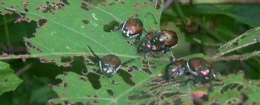 21 Natural Ways to Get Rid of Japanese Beetles