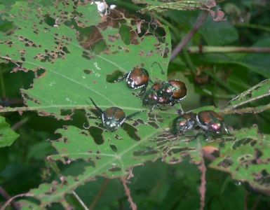 21 Natural Ways to Get Rid of Japanese Beetles