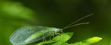 Green Lacewing Benefits and How to Attract Them
