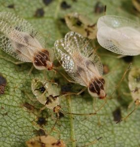 Natural Ways to Get Rid of Lace bugs