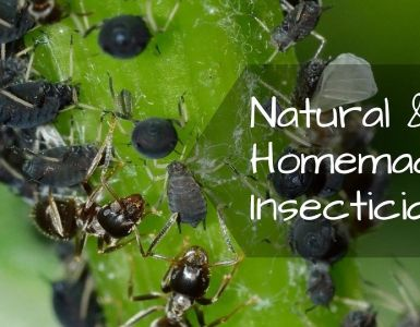 Natural and Homemade Insecticides for Plants