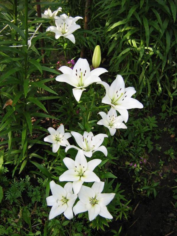 Картинки цветы белые лилии 187 DreemPicscom картинки и
