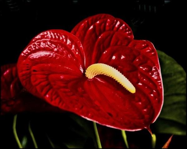 Цветы мужское счастье фото » DreemPics.com - картинки и ...