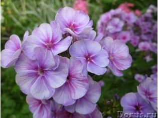 Цветы садовые многолетники фото » DreemPics.com - картинки ...
