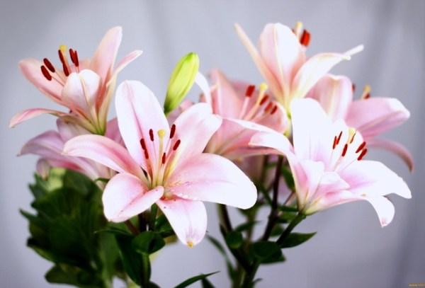 Картинки цветы скачать лилии » DreemPics.com - картинки и ...