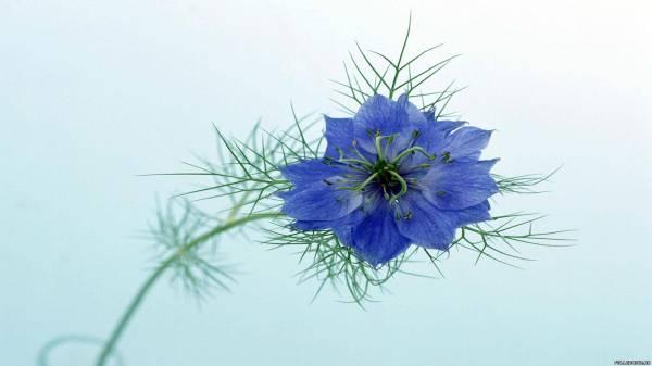 Синий цветок фото » DreemPics.com - картинки и рисунки на ...