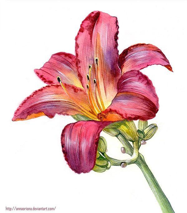Картинки лилии цветы 187 DreemPicscom картинки и рисунки