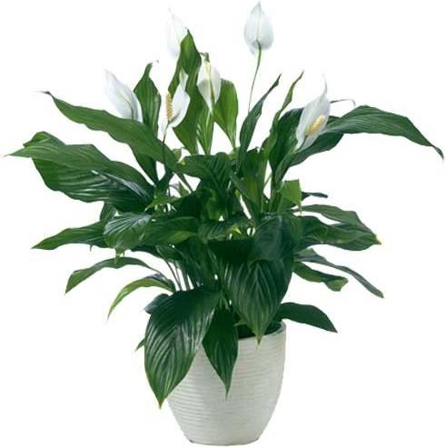 Красивые цветущие комнатные цветы фото » DreemPics.com ...