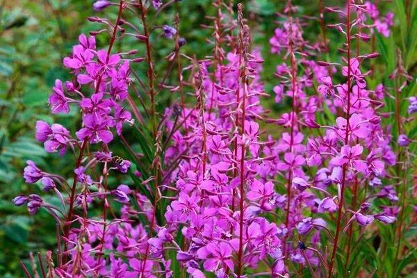 Растение иван-чай картинки » DreemPics.com - картинки и ...