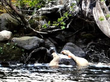 Albino Otter pups on R. Irvine