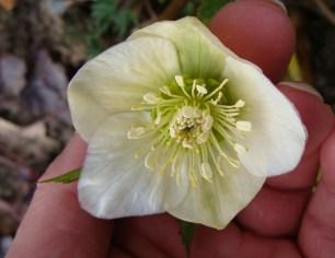white heleborus