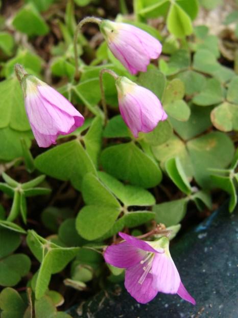 pink clover