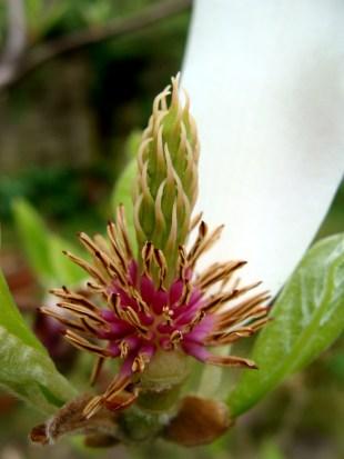 last leaf of a magnolia