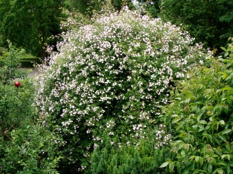 """Our rambling rose """"Paul's Himalayan Musk"""" grows up to 9 m in a tree"""