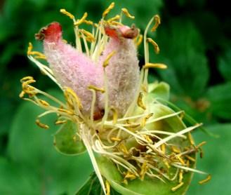 seed vessel of peony