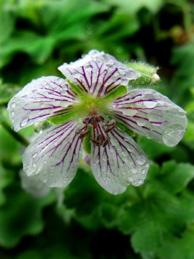 sad little geranium