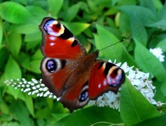 peacock-eye butterfly