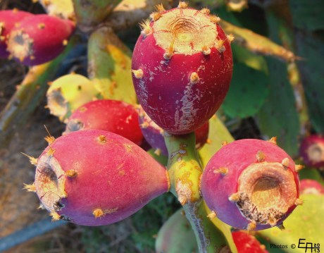cactus fruits - not edible