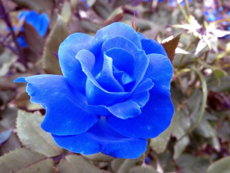 2nd Blue Rose