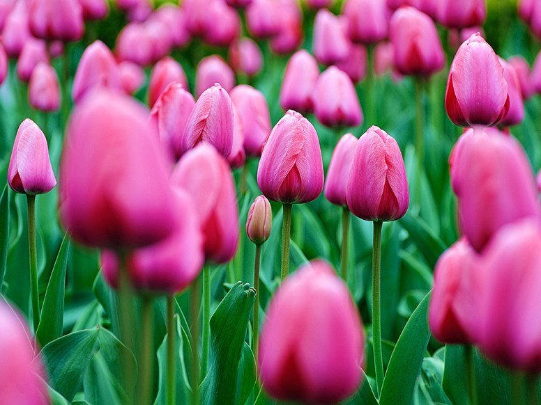 a picture of a field of tulips