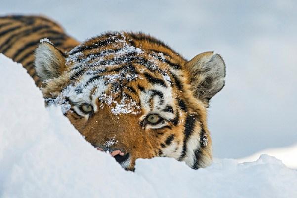 a tiger hiding