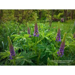 Lupins_2017_3692