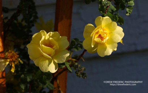 Yellow_Roses_IMG_1468