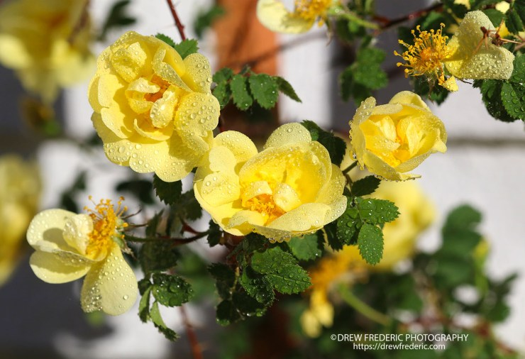 Yellow_Roses_IMG_1510