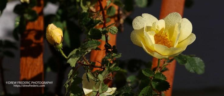 Yellow_Roses_IMG_1549