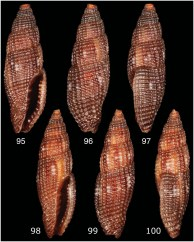 T. siduirauti shells