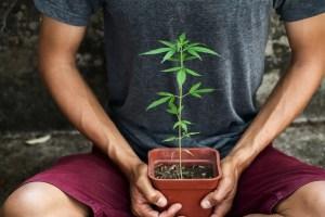 Hand holding marijuana in pod