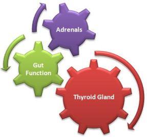 adrenals wheel