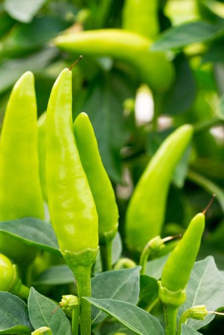 Garden Update - Thai Chilis