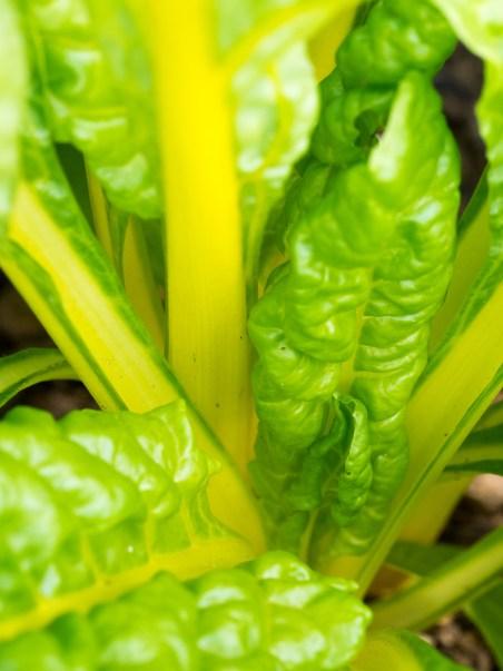 Garden Update - Spinach, Chard, Kale, Cucumbers
