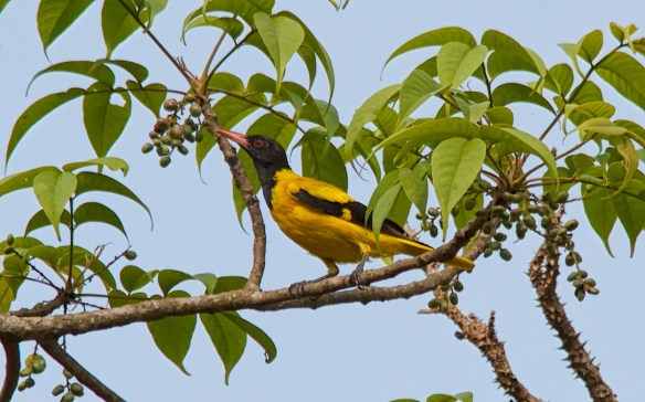Black Hooded Oriole, Socorro Plateau, North Goa