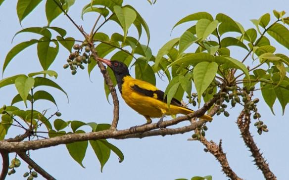 Black Hooded Oriole, Socorro Plateau, North Goa