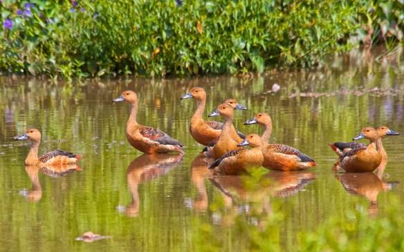 Lesser Whistling Teal, Pilerne Lake, North Goa