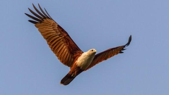 Bhramini Kite in flight