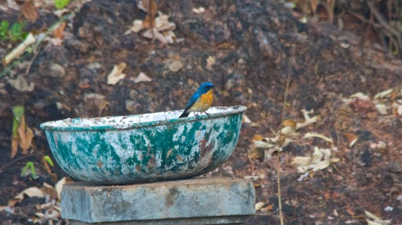 tickles blue flycatcher