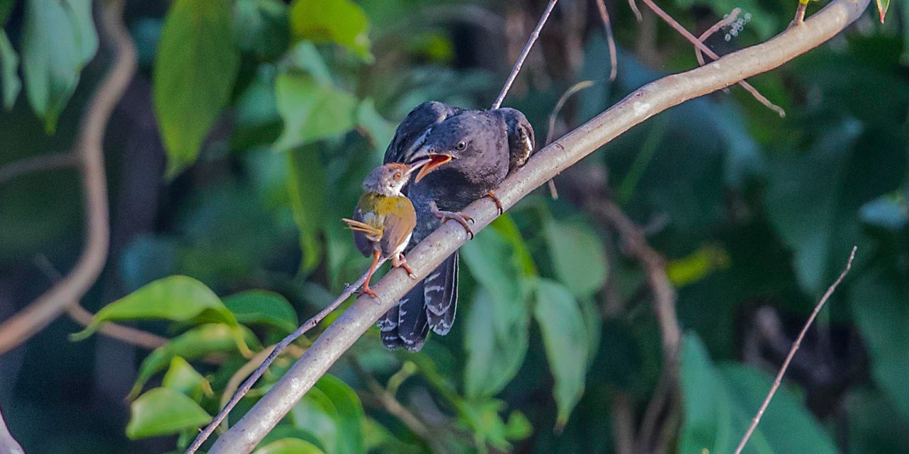 Tailorbird conned by  Grey-bellied Cuckoo!