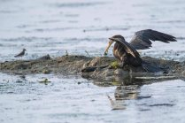 Darter bird appears to be admiring a large fish it caught